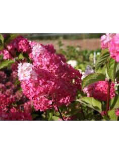 Hortensia de jardin 'Fraise...