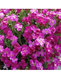 Arabette des montagnes Rose...