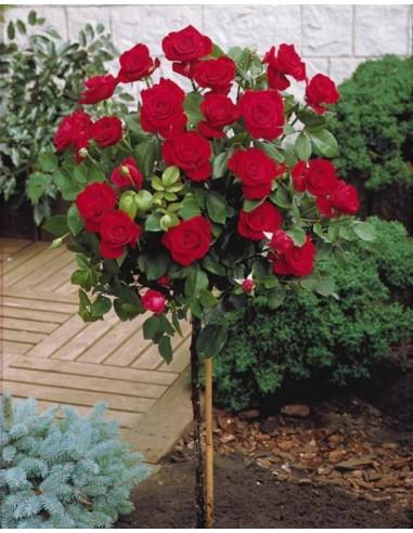 Rosier sur tige à fleurs rouges