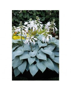 Hosta Bullet Proof Ø 2L
