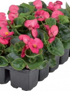 Begonia Semperflorens Juwel